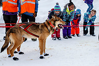 Takotna school children watch Bradley Farquar dogs in the afternoon at the Takotna checkpoint during the 2018 Iditarod race on Wednesday March 07, 2018. <br /> <br /> Photo by Jeff Schultz/SchultzPhoto.com  (C) 2018  ALL RIGHTS RESERVED