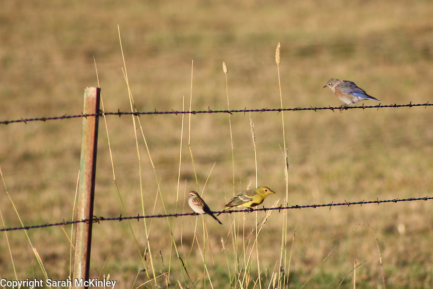 A bluebird, a yellow female oriole, and a small sparrow perch on a barbed wire fence outside of Willits in Mendocino County in Northern California.