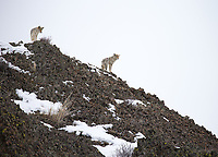 This pair of coyotes was watching a fox cross the road far below.