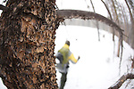 The mountain pine beetle is responsible for massive damage to lodgepole pine forests in Colorado where a recent reduction in the severity of winters in North America has allowed the population to explode. It is feared that global warming will cause this problem to intensify.