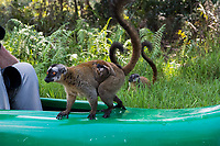 Africa, Madagascar, Vakona Forest reserve, Lemur Island. Brown lemur and baby.