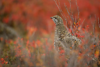 A female Spruce Grouse stops while foraging among fall blueberry bushes. Denali National Park, Alaska.