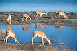Impalas at Waterhole in Chobe National Park in Botswana, Africa