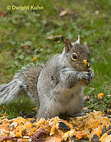 MA23-547z  Gray squirrel eating pumpkin fruit and seeds, Sciurus carolinensis