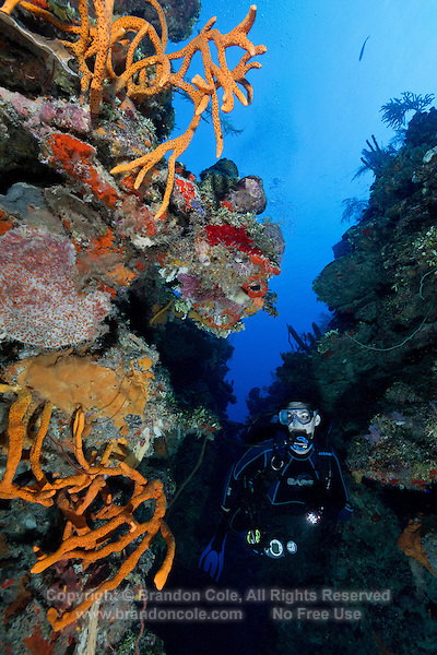 TH0827-D. Brown Tube Sponges (Agelas conifera) and various encrusting species proliferate along a wall at 80 feet deep. Sponges are often brightly colored and come in a wide variety of shapes. They are filter feeders, drawing seawater (containing microscopic plankton on which they feed) through their pores. Cuba, Caribbean Sea.<br /> Photo Copyright &copy; Brandon Cole. All rights reserved worldwide.  www.brandoncole.com