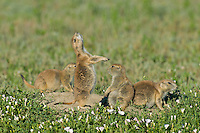 "Black-tailed Prairie Dog (Cynomys ludovicianus) family.  One prairie dog is doing a ""jump-yip"" signal behavior."