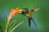 Empress Brilliant (Heliodoxa imperatrix), male feeding from bromeliad flower,Mindo, Ecuador, Andes, South America