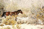 WILD HORSE RUNS THROUGH the DESERT<br />