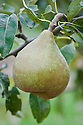 """Pear 'Doyenne du Comice', early September. A French pear """"raised at the Comice Horticole, Angers, Maine-et-Loire. First fruited in 1849 and introduced into Britain by Sir Thomas Dyke Acland in 1858. One of the finest pears, it needs a warm sheltered site to grow and crop well. It benefits from training against a warm wall or fence."""" ('Pears' by Jim Arbury and Sally Pinhey)"""