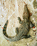 MEXICO, Maya Riviera, elevated view of a crocodile, Yucatan Peninsula