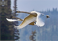 A pair of trumpeter swans flies over Beaver Creek, Alaska.