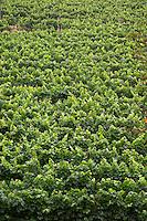 Chateau de Montpezat. Pezenas region. Languedoc. Vine leaves. France. Europe. Vineyard.