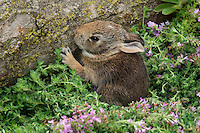Eastern Cottontail (Sylvilagus floridanus) - first day out of nest. Spring. Near Niagara Falls, Ontario. Canada.