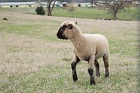 Sheep 03-2017