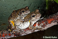 0805-0904  Pair of Mating Eastern Gray Treefrogs (Grey Tree Frog), Male Tightly Grasping Female, Hyla versicolor  © David Kuhn/Dwight Kuhn Photography