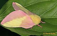 0722-06xx  Rosy Maple Moth - Dryocampa rubicunda - © David Kuhn/ Dwight Kuhn Photography