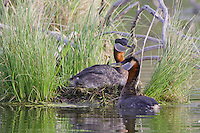 Red-necked Grebes tending a nest