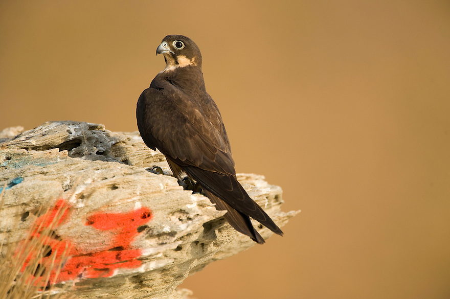 Eleonora's falcon (Falco eleonorae); number to identify the nest, Andros, Greece