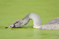 Trumpeter Swan (Cyngus buccinator) cygnet feeding on duckweed in small pond, Western U.S., Sept.  Duckweed is an important high-protein food source for waterfowl.