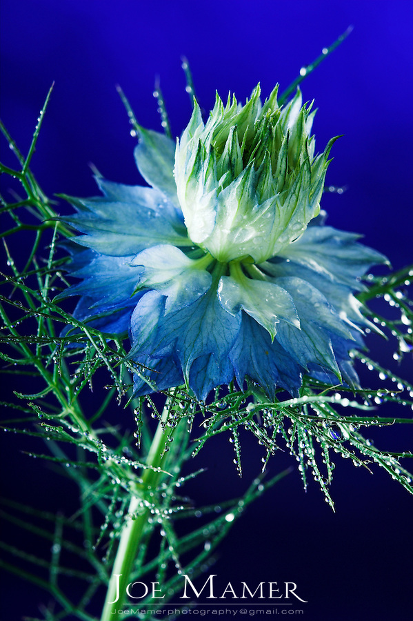 Nigella flower (Nigella Damascena) (A.K.A Love in a Mist) against a blue studio background.