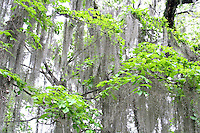 Spanish moss in oak trees at Alfred Maclay Gardens State Park Tallahassee Florida