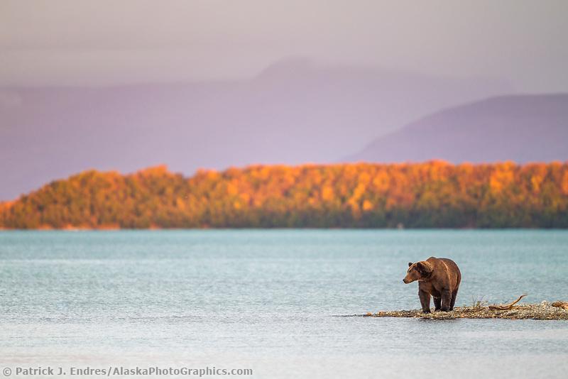 Brown bear wades in Naknek lake, Katmai National Park, southwest, Alaska.