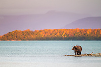 Brown bear wades in Naknek lake, Katmai National Park, southwest, Alaska.
