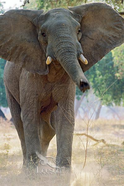African elephant bull (Loxodonta africana) bluff charging.  Mana Pools National Park, Zimbabwe.