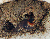 Adult cliff swallow at nest with baby
