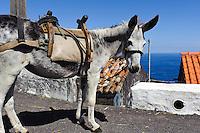 Esel in Ponta Ruiva auf der Insel Flores, Azoren, Portugal
