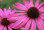 Europe, DEU, Germany, Close up of purple echinacea sunhat, Coneflowers, Echinacea purpurea....[ For each utilisation of my images my General Terms and Conditions are mandatory. Usage only against use message and proof. Download of my General Terms and Conditions under http://www.image-box.com or ask for sending. A clearance before usage is necessary...Material is subject to royalties. Each utilisation of my images is subject to a fee in accordance to the present valid MFM-List...Contact | archive@image-box.com | www.image-box.com ]