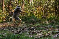Africa, Madagascar, Vakona Forest reserve, Lemur Island. Diademed Sifaka lemur on Lemur Island.