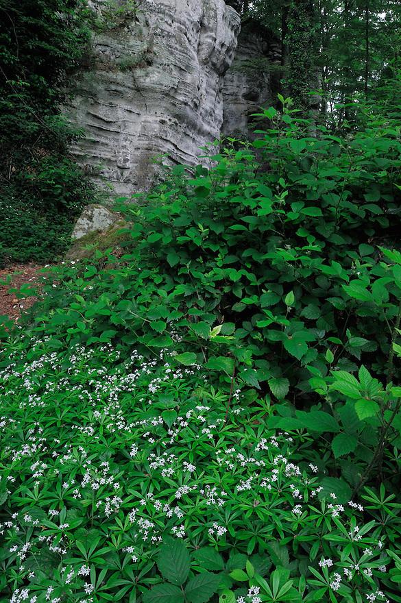 Sandstone and Woodruff (Galium odoratum)   Sweet Woodruff or Wild Baby's Breath - Waldmeister, Mullerthal trail, Mullerthal, Luxembourg