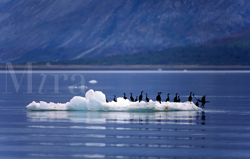CORMORANTS (Phalacrocoracidae) use an ICE FLOE as a floating island - GLACIER BAY NATIONAL PARK, ALASKA