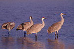 sandhill crane (grus canadensis) in New Mexico in the winter