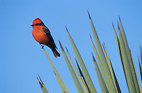 Vermillion Flycatcher, Pyrocephalus rubinus,male on Trecul Yucca (Yucca treculeana), The Inn at Chachalaca Bend, Cameron County, Rio Grande Valley, Texas, USA