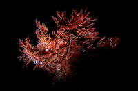 Weedy scorpionfish (Rhinopias frondosa) in Lembeh Strait / Indonesia