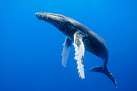 humpback whale, Megaptera novaeangliae, Kohala Coast, Big Island, Hawaii, USA, Pacific Ocean