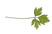Kriechender Hahnenfuß, BHahnenfuss, Ranunculus repens, Creeping Buttercup, La renoncule rampante. Blatt, Blätter, leaf, leaves