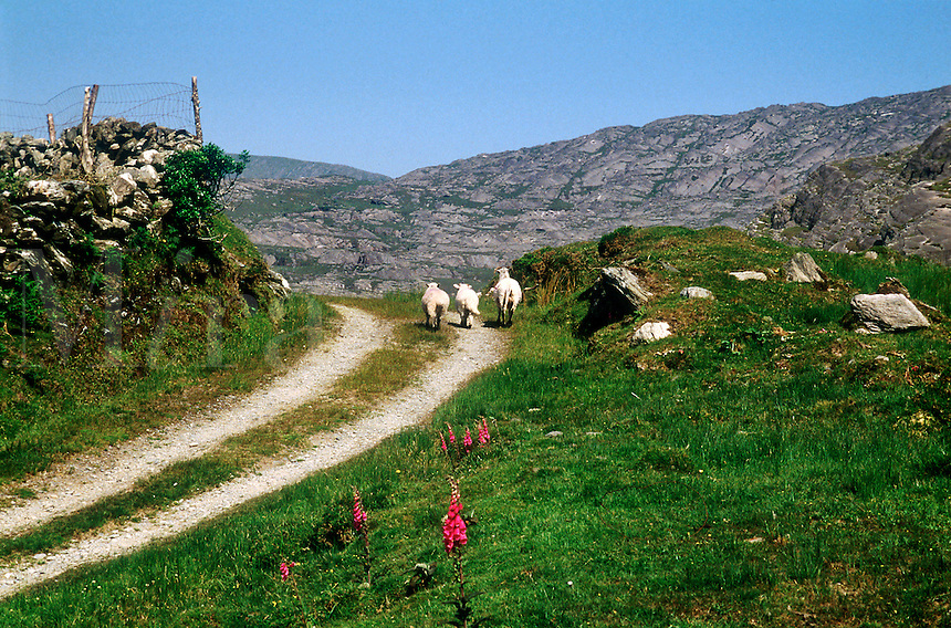 Sheep walking on a dirt path, County Clare, Ireland