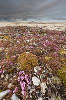 Wildflowers on the tundra, Svalbard