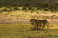 A mother lion and her two cubs walking in formation through the green Nossob River Valley.