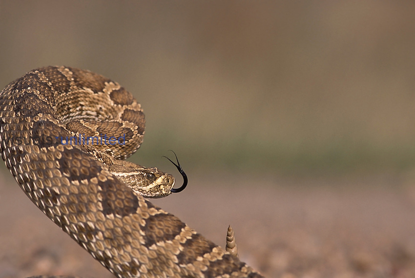 A Prairie Rattlesnake ,Crotalus viridis viridis, is coiled and ready to strike on the plains of western Kansas, USA.