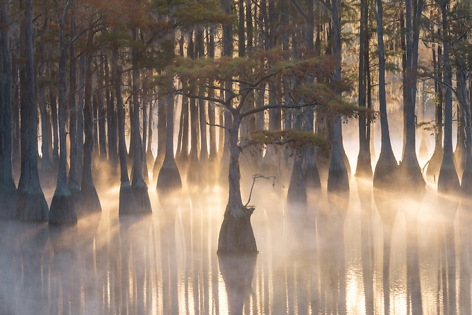 A small pond cypress displayed in beautiful sunrise light, on a misty cold morning in the swamps of the southern U.S.