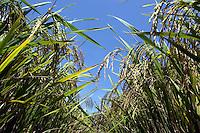 Plantaciones de arroz en la zona de Mao y el Dr. Sie tenico chino, uno de los grande propursores de las variedades de arroz en el pais.Lugar:Ciudad de Bonao Provincia Mon Señor Noel.Foto:Cesar de la Cruz.Fecha:.