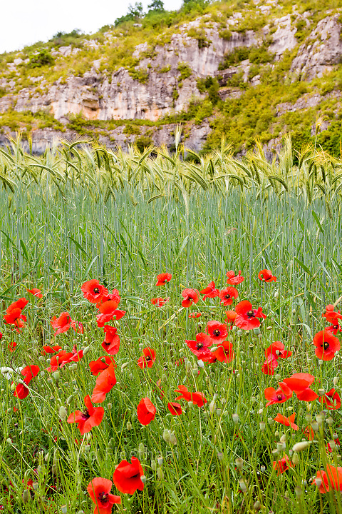 Wheat and poppys in a field near Cahors, the capital of the Lot department in south-western France.