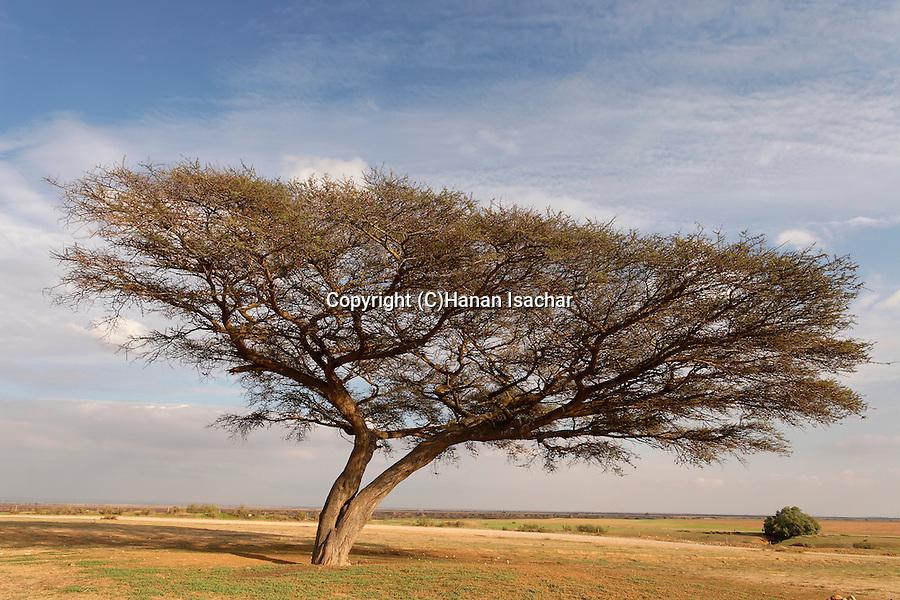 Israel, Acacia Raddiana tree in the Negev desert