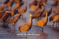 00882-01412 Sandhill Cranes (Grus canadensis) in Platte River near Kearney   NE