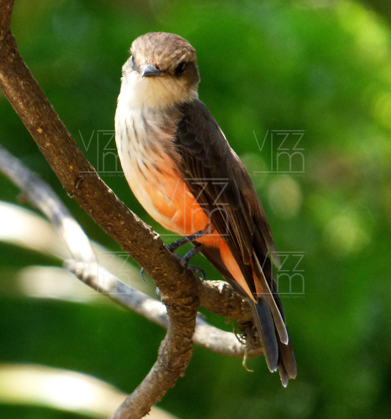 CALI - COLOMBIA, 30-06-2016: Titiribi Hembra, especie de ave presente en el norte de Cali. / Titiribi Hembra, bird species present in north of Cali Photo: VizzorImage / Dario Ramirez / Cont.