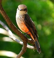 CALI - COLOMBIA, 30-06-2016: Titiribi Hembra, especie de ave presente en el norte de Cali. / Titiribi Hembra, bird species present in north of Cali Photo: VizzorImage / Dario Ramirez / Cont.